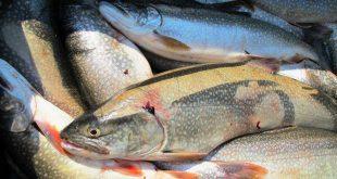 خرید ماهی قزل آلا اصفهان