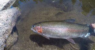 ماهی قزل آلا زنده در اصفهان