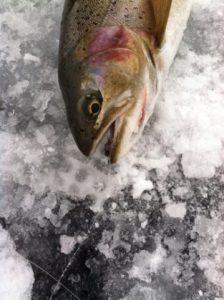 صادرات ماهی قزل آلا