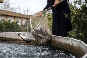 ماهی قزل آلا زنده شهرکرد