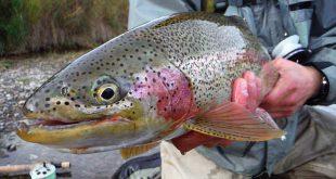 ماهی قزل آلا در ایران
