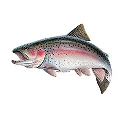 آخرین قیمت ماهی قزل آلا در بازار امروز