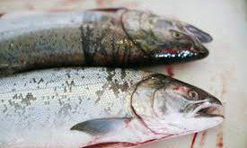فروش ماهی قزل آلا سالمون اصفهان
