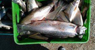 قیمت روز ماهی قزل آلا پرورشی به صورت مصوب