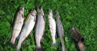 فروش ماهی قزل آلا در قم