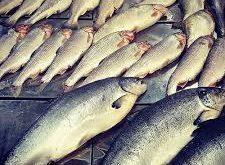 خرید ماهی قزل آلا باکیفیت