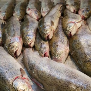 فروش ماهی قزل آلا