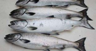 خرید عمده ماهی قزل آلا پرورشی