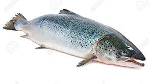 خرید ماهی قزل آلا تازه