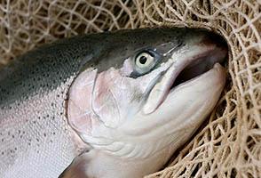 فروش ماهی پرورشی قزل الا با بهترین قیمت