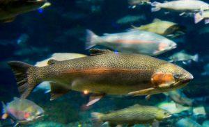 صادرات ماهی قزل آلا به امارات متحده عربی