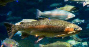ماهی قزل آلا پرورشی اصفهان