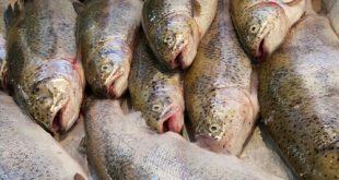 ماهی قزل آلا تازه در تهران
