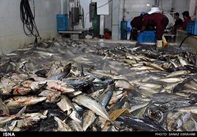 خرید و فروش بچه ماهی قزل الا به قیمت روز