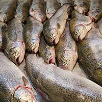 صادرات ماهی قزل آلا زنجان