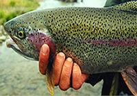 صادرات ماهی سالمون به صورت منجمد