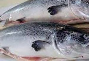خرید ماهی قزل آلا سالمون با قیمت عمده