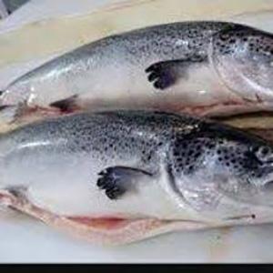 صادرات ماهی قزل الا به عراق با قیمت عالی