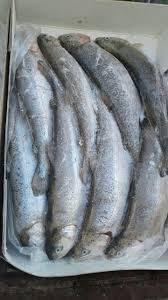 صادرات ماهی قزل آلا شهرکرد به روسیه