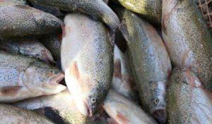 فروش ماهی قزل آلا به قیمت عمده