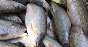 قیمت فروش ماهی قزل آلا در بازار امروز