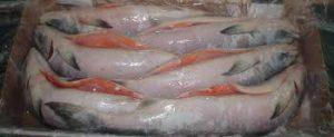 قیمت ماهی سالمون و قزل آلا در بازار