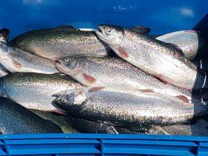 خرید ماهی قزل آلا منجمد شکم خالی